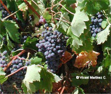 Vid cultivada con racimos de uva