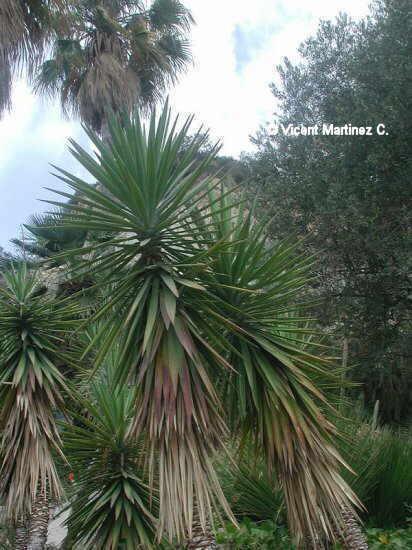 Yucca aloifolia - Yucca elephantipes cuidados ...