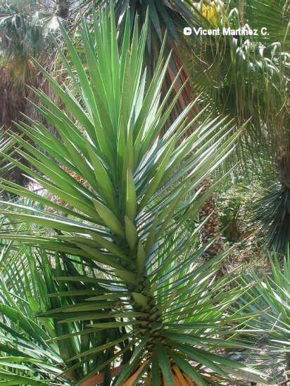 El cultivo de la yuca for Yuca planta de exterior