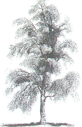 birch illustration