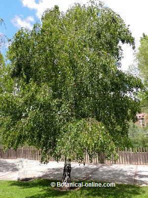 Pin ramitas ramas y zarcillos vector de material free download on pinterest - Abedul blanco ...