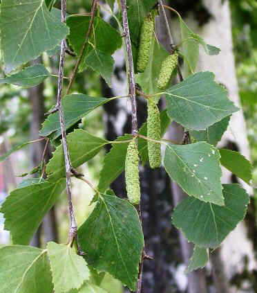 Birch tree catkins and leaves