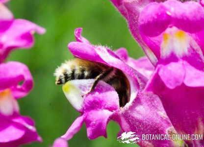 abeja polinizando flor