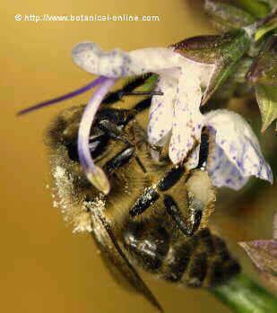 abeja melifera