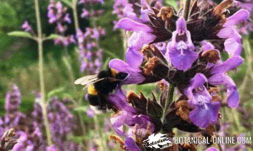 abejorro polinizando flor de equinacea