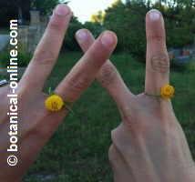 anillo natural de plantas con abrotano