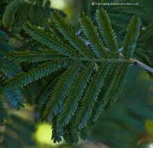 hojas de acacia