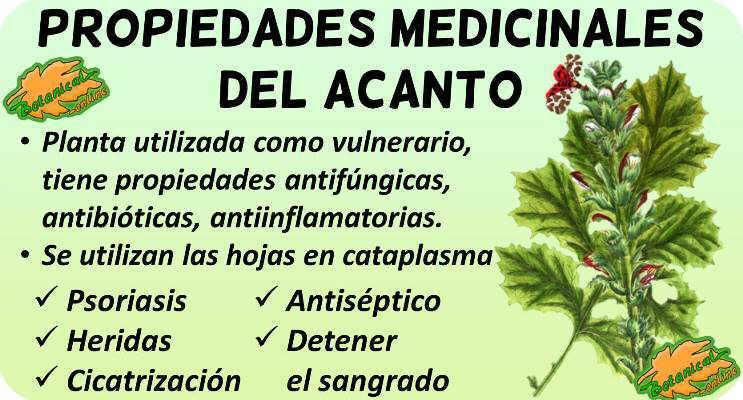 acanto propiedades medicinales acanthus mollis