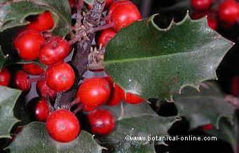 Detalle de una hoja y frutos maduros del acebo