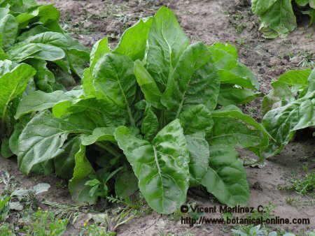Como cultivar acelga ecolog a en taringa for En cuanto tiempo se cosecha la tilapia