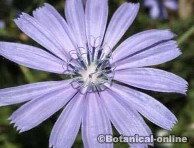 flor azul achicoria Cichorium intybus