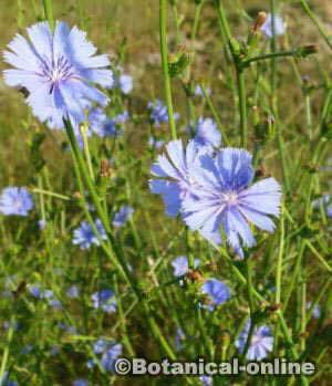 flores azules achicoria Cichorium intybus