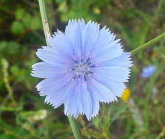 flor de achicoria
