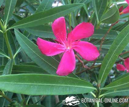 adelfa flor fucsia