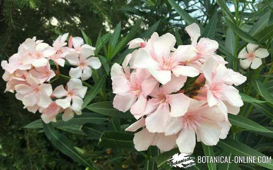 flores de adelfa de color crema
