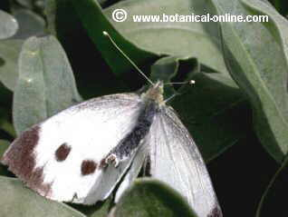 Mariposa col