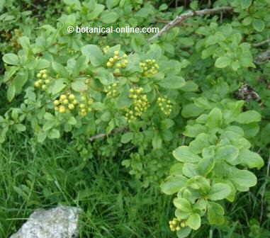 Agracejo, Beberis vulgaris