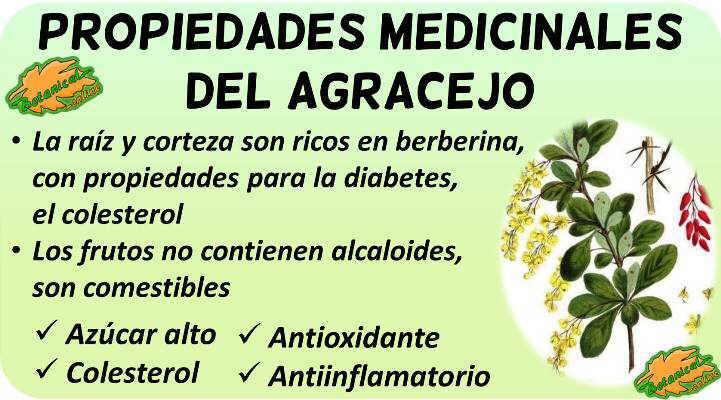 propiedades y beneficios planta medicinal agracejo