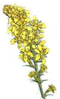 flor de agrimonia