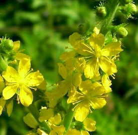 flores de agrimonia