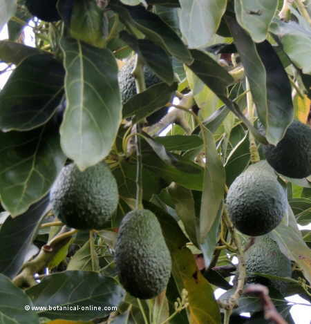 Photo of avocado (Persea americana)