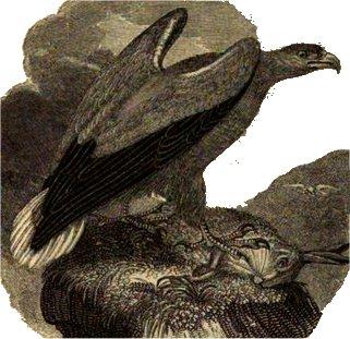 aguila caza