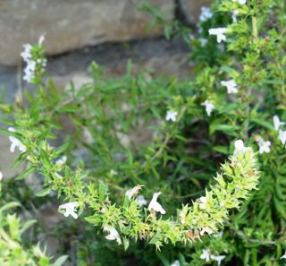 La ajedrea especia arom tica for Ajedrea de jardin
