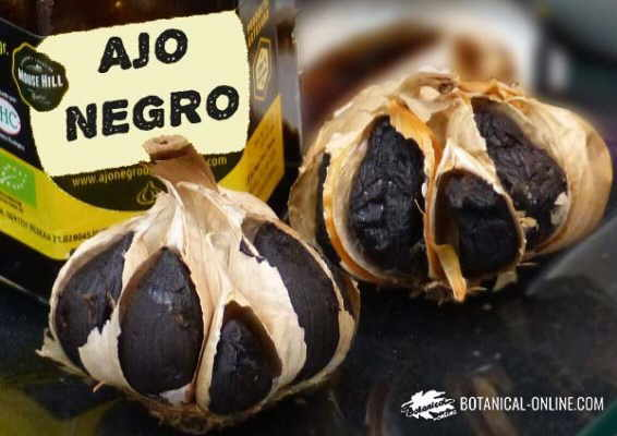 ajo negro aspecto general venta