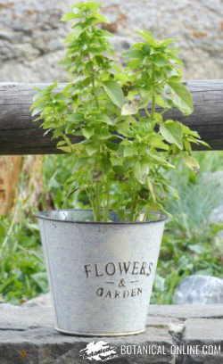 albahaca planta cultivada