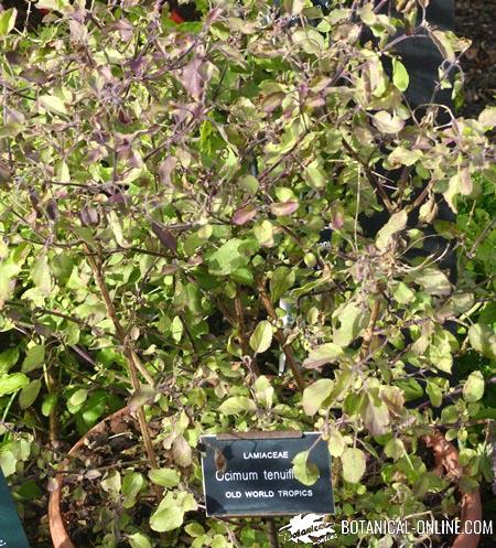 albahaca maceta cocina hierbas aromaticas