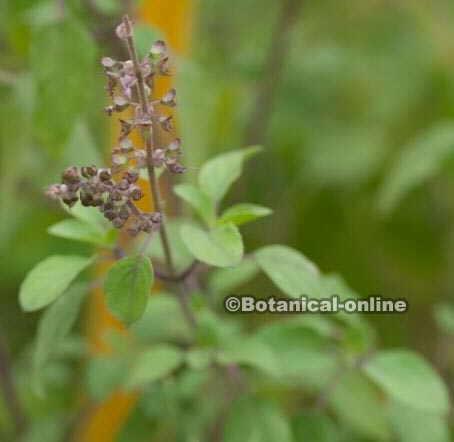 ocimum sanctum albahaca sagrada de la india