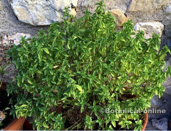 albahaca de jardineria insecticida hojas estrechas