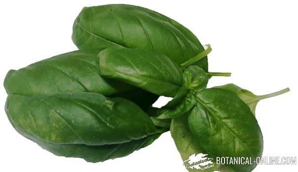 albahaca hojas anchas