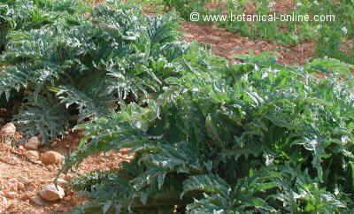 cultivo de las alcachofas
