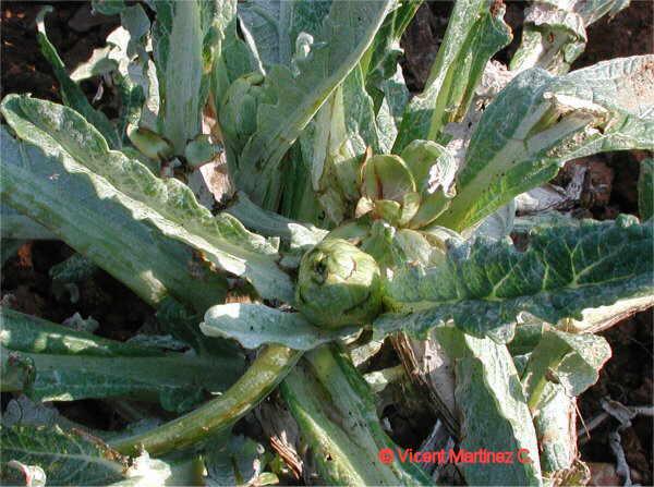 como es el cultivo de la alcachofa