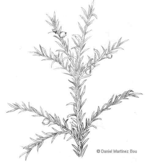 Taxus baccata drawing