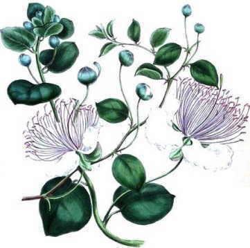 Ilustracion botánica del alcaparro
