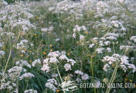 alcaravea carum carvi planta prado umbelas campo hojas flores