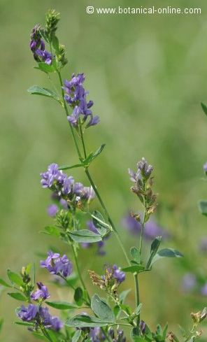Photo of alfalfa plant