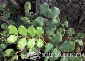 hojas de algarrobo