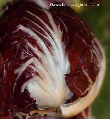 Achicoria roja