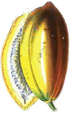 Dibujo de papaya