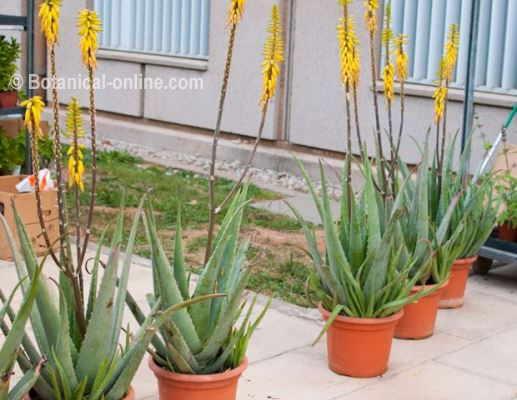 cultivo de plantas de aloe vera con flor, en maceta