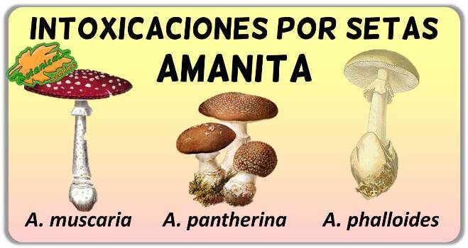 setas toxicas amanita muscaria pantherina phalloides