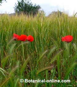 amapola en campos de trigo