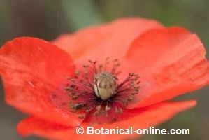 detalle flor de amapola