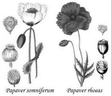 diferencia entre papaver somniferum rhoeas