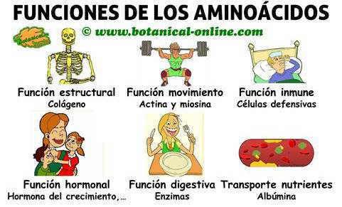 esquema de funciones de los aminoacidos en el cuerpo y propiedades