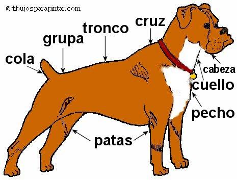 ... perro perro de raza boxer partes del cuerpo de un perro dibujos de