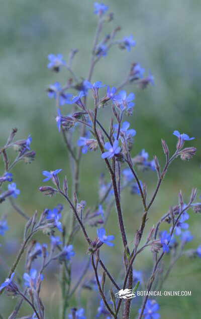 Aspecto general de las inflorescencias de la lengua de buey o buglosa
